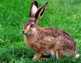 Заяц является грызуном, его...  Зайцы относятся к отряду зайцеобразные...