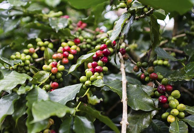 Гондурас кофе өндірісі